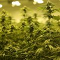 Cannabis Cultivator Khiron May Become Europe's Top Supplier