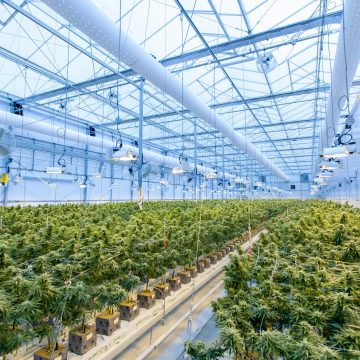New Tech Aims to Curb Heavy Cannabis Water Demands