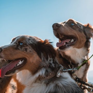 CBD and Pets – Can Cannabidiol Help Dogs With Separation Anxiety?